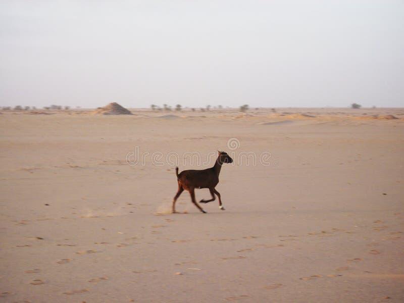 Chèvre de bébé dans le désert image libre de droits