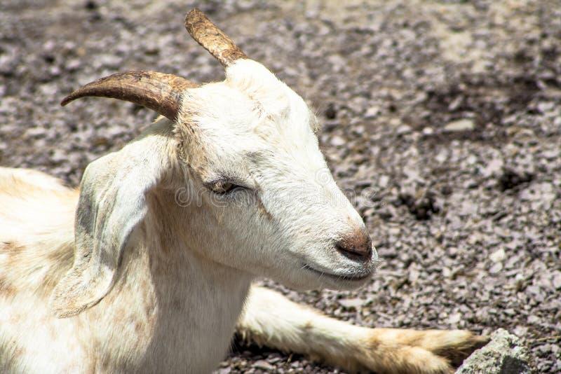 Chèvre de bébé sur l'emprisonnement image libre de droits