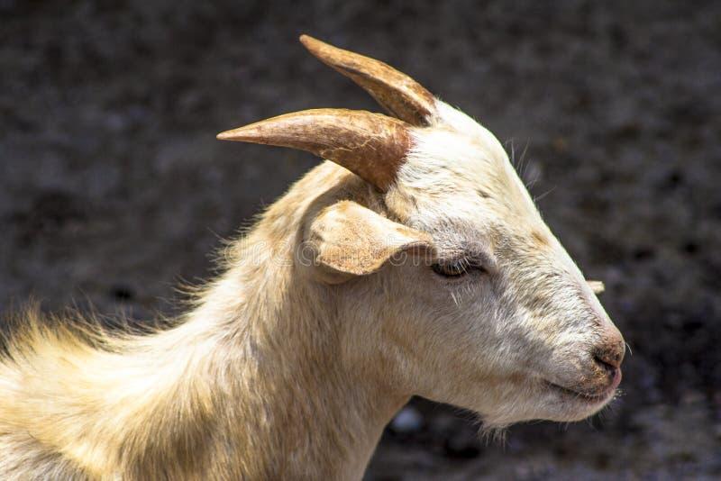 Chèvre de bébé sur l'emprisonnement photographie stock