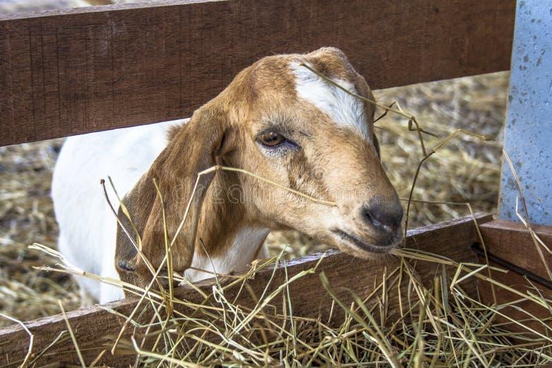 Chèvre de bébé sur l'emprisonnement photos libres de droits