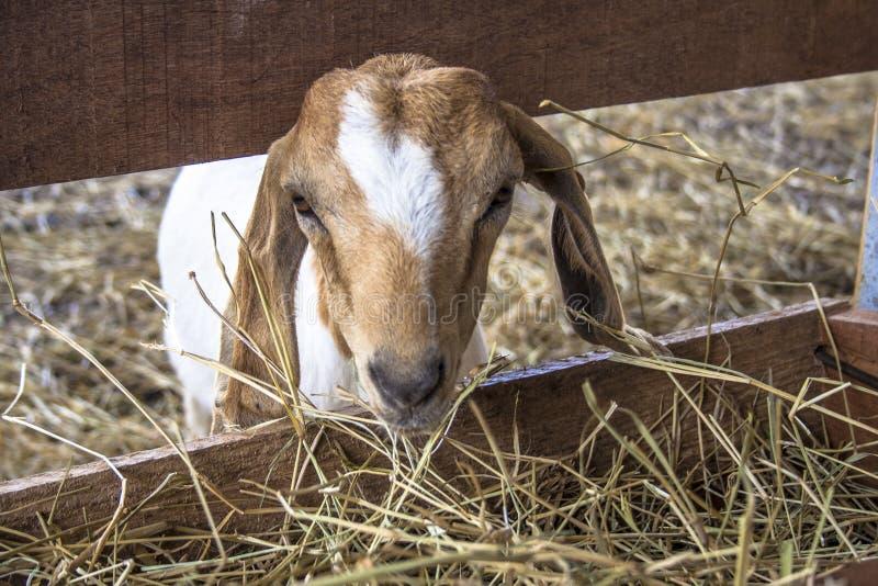 Chèvre de bébé sur l'emprisonnement photo libre de droits