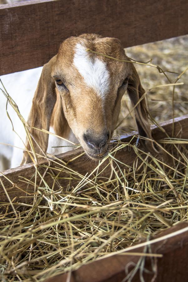 Chèvre de bébé sur l'emprisonnement photo stock