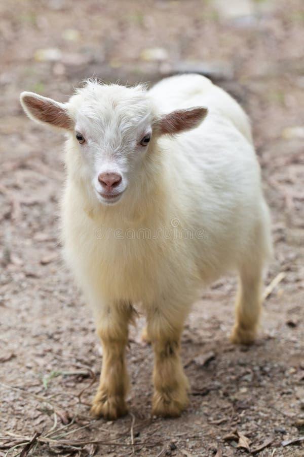Chèvre de chéri photos stock
