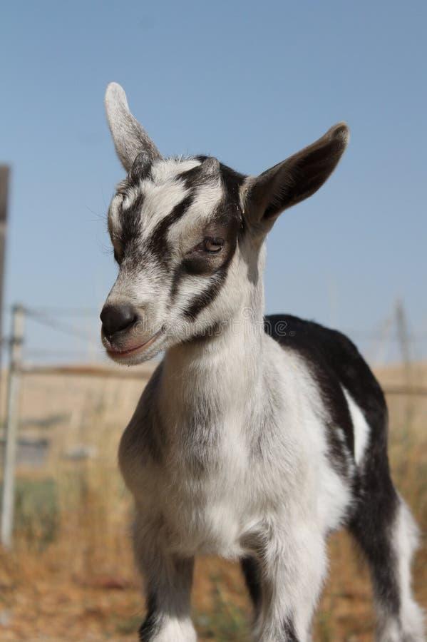 Chèvre de chéri photographie stock libre de droits