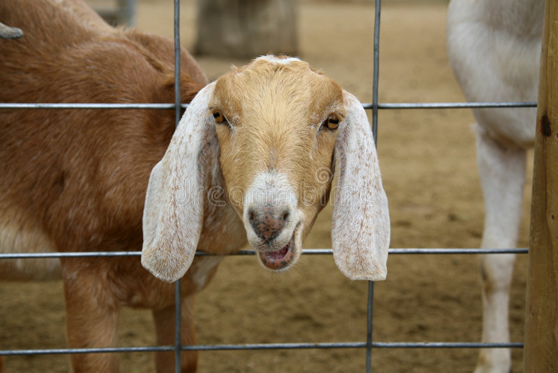 Chèvre de ferme avec la tête par la frontière de sécurité photographie stock libre de droits