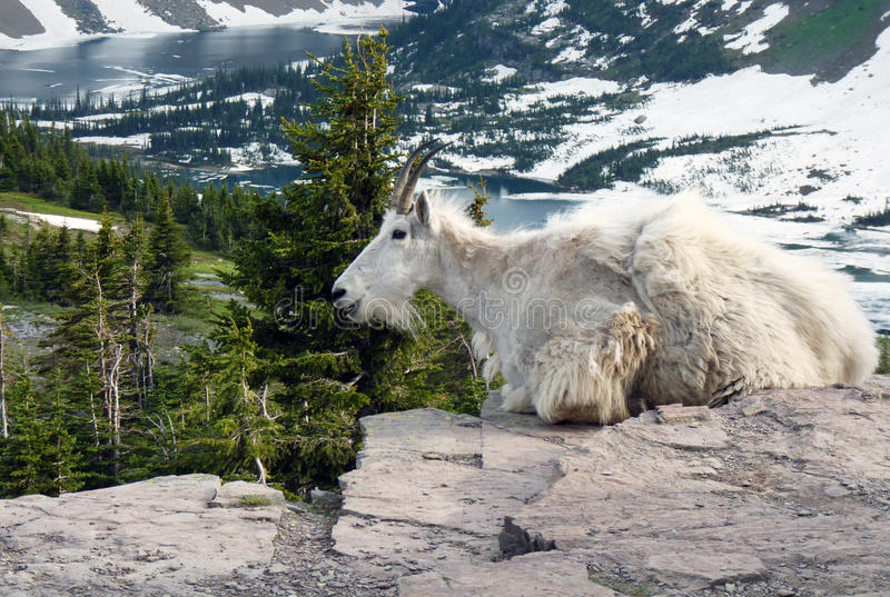 Chèvre de glacier images stock