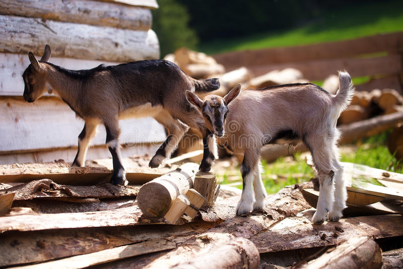 Chèvre de jeune garçon sur le bois dans la terre Fond de pré photo libre de droits