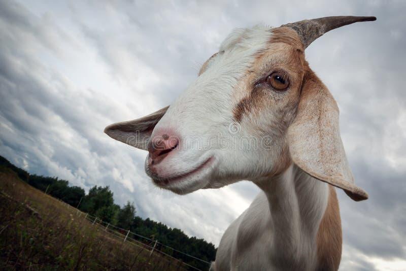 Chèvre de licorne photographie stock
