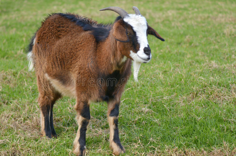 Chèvre de mâle de Brown photo stock