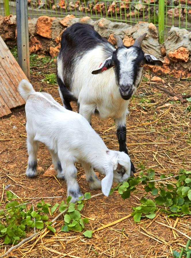 Chèvre de mère et son bébé, kibboutz images stock