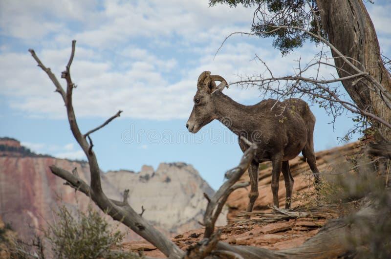 Chèvre de montagne étonnante dans Zion NP photos stock