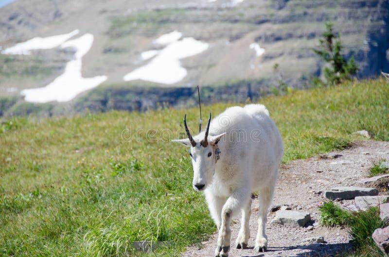 Chèvre de montagne images stock