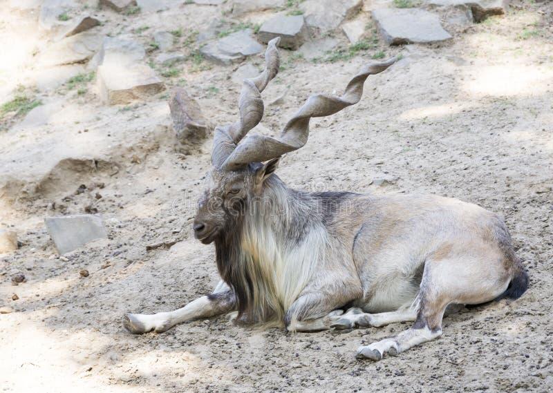 Chèvre de montagne avec les klaxons tordus images stock