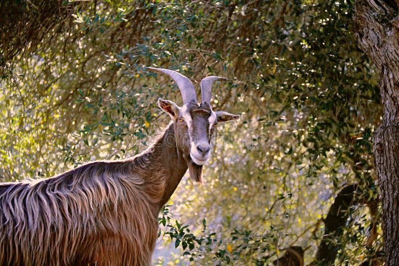 Chèvre de montagne corse photo stock
