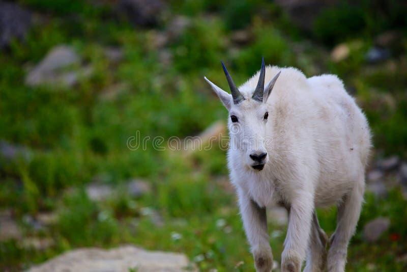 Chèvre de montagne de parc national de glacier photos libres de droits