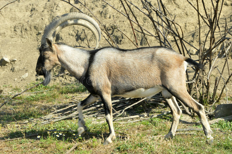 Chèvre de montagne Kri-Kri image libre de droits