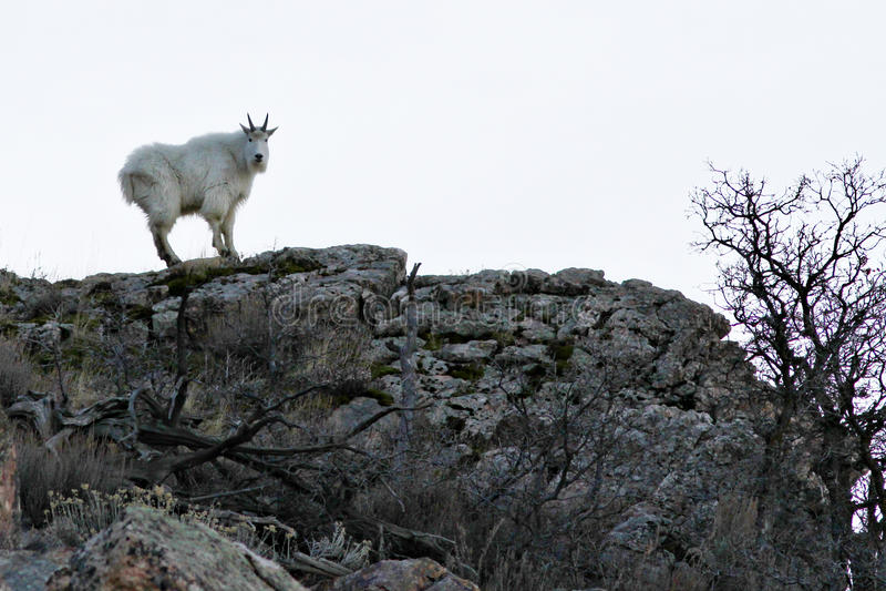 Chèvre de montagne rocheuse photographie stock libre de droits