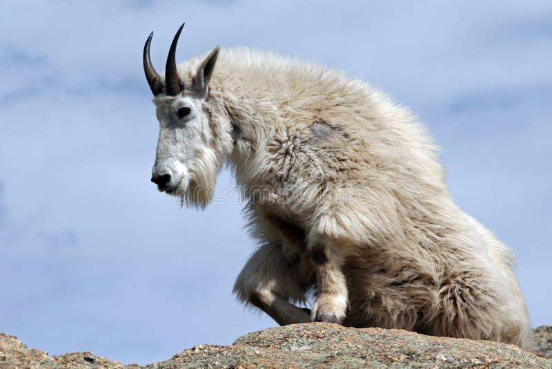 Chèvre de montagne se levant du repos sur la crête de Harney donnant sur le Black Hills du Dakota du Sud Etats-Unis photographie stock libre de droits