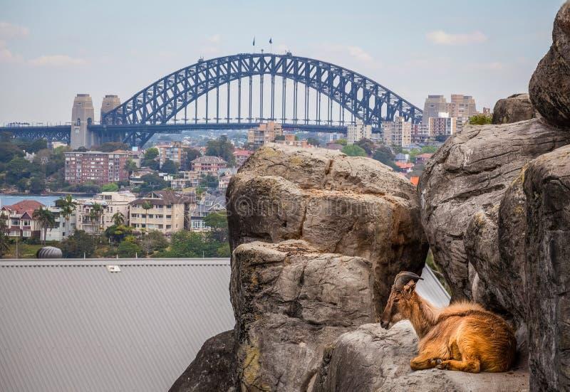 Chèvre de montagne se reposant sur des roches avec Sydney Harbour Bridge à l'arrière-plan photographie stock