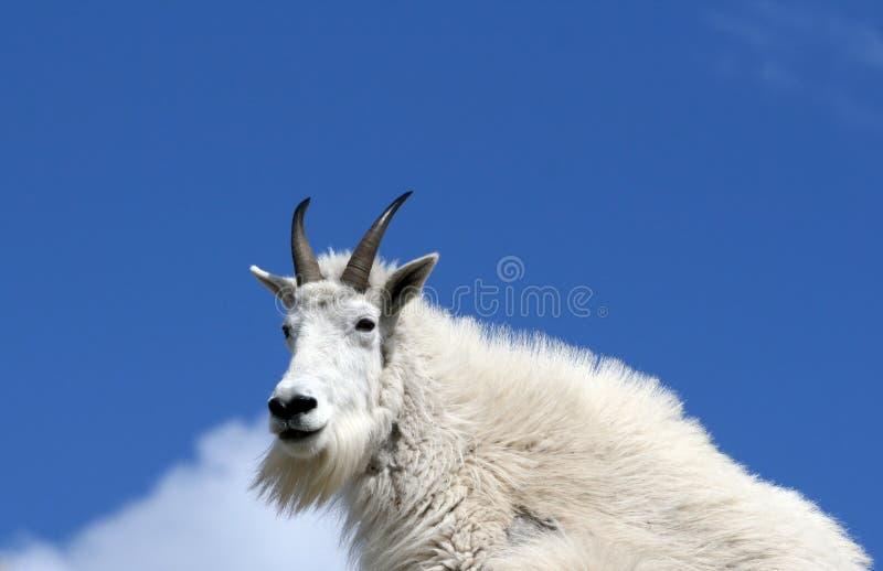 Chèvre de montagne se reposant sur la crête de Harney donnant sur le Black Hills du Dakota du Sud Etats-Unis photographie stock