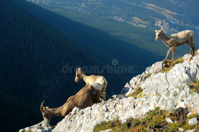 Chèvre de montagne sur la falaise image libre de droits