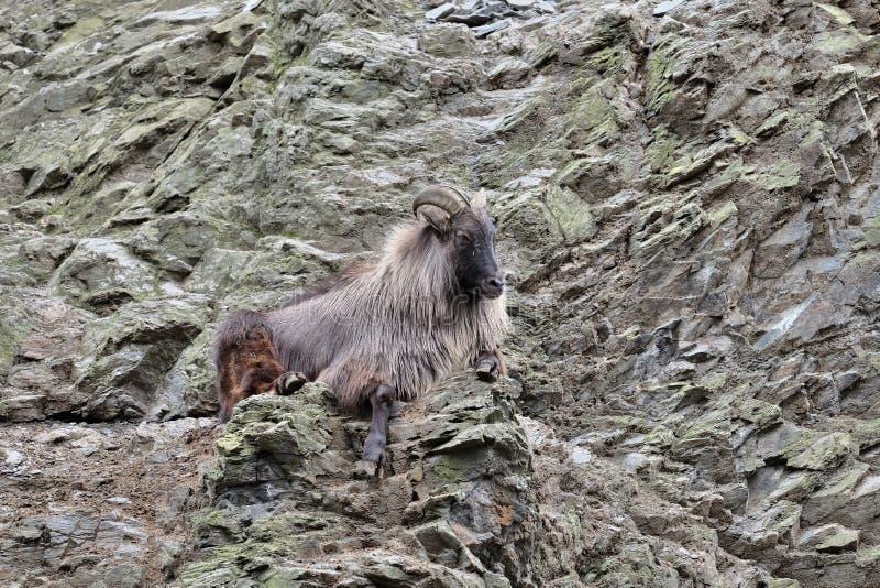 Chèvre de montagne sur le flanc de coteau photographie stock