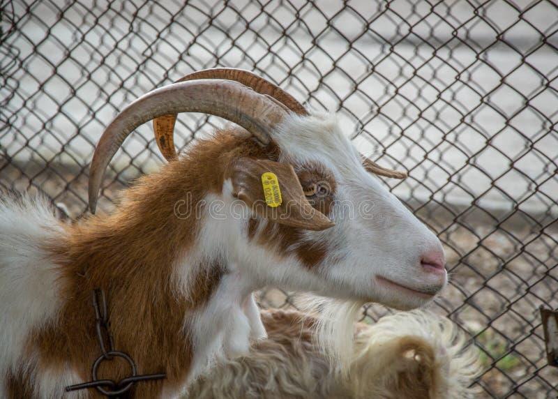 Chèvre de Motley, portrait animal dans l'arrière-cour avec la barrière en métal derrière image libre de droits