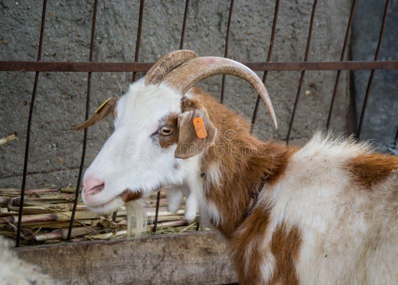 Chèvre de Motley, portrait animal dans l'arrière-cour avec la barrière en métal derrière photo libre de droits