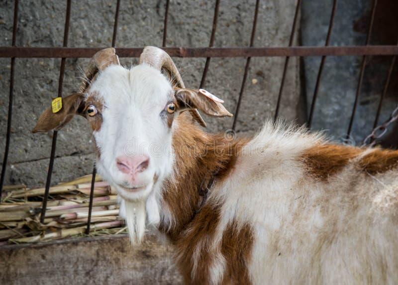 Chèvre de Motley regardant la caméra, portrait animal dans l'arrière-cour avec la barrière en métal derrière photos stock