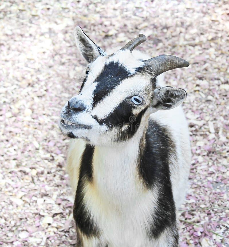 Chèvre de sourire avec des yeux bleus photos libres de droits