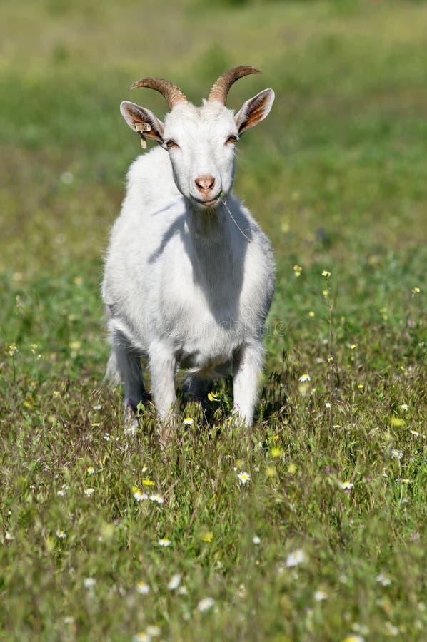 Chèvre drôle sur le pré photo stock