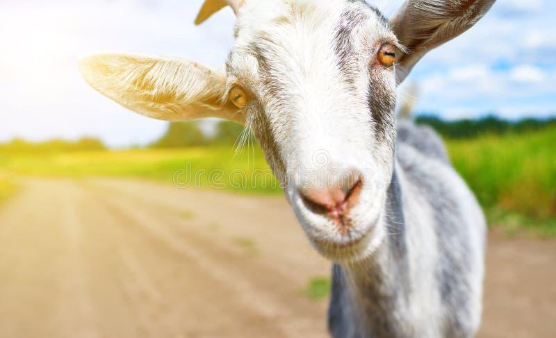 Chèvre en été dehors en nature photographie stock