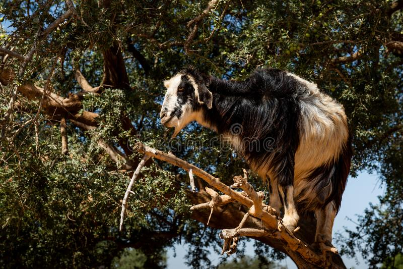 Ch?vre en arbre de spinosa d'Argan Argania, Maroc photographie stock