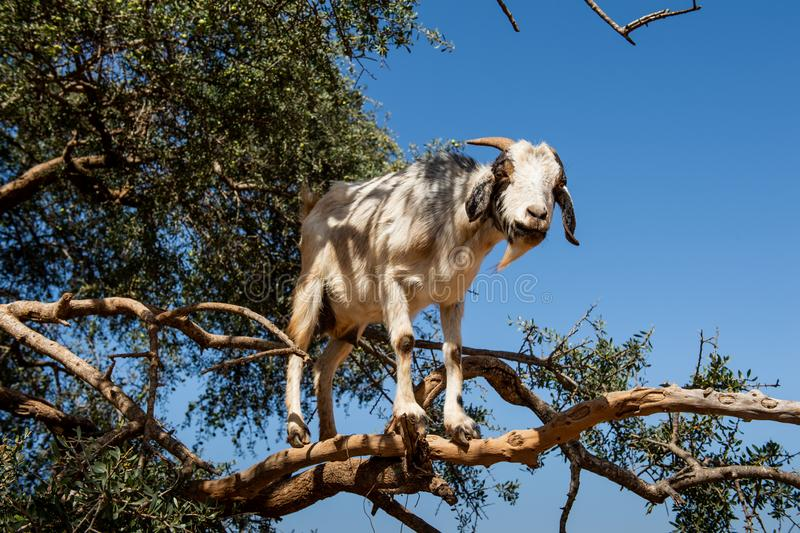 Ch?vre en arbre de spinosa d'Argan Argania, Maroc photos stock