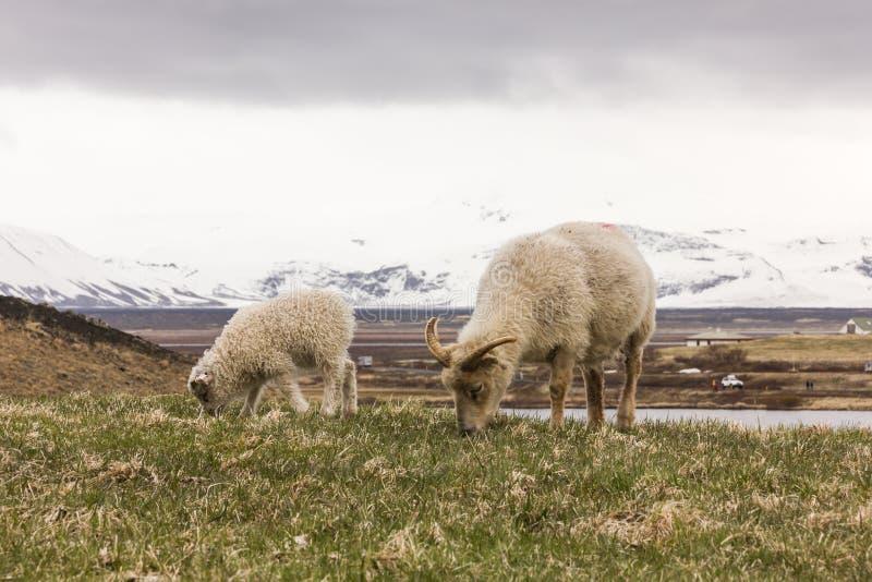 Chèvre et bébé mangeant l'herbe avec le fond neigeux de montagne photos libres de droits