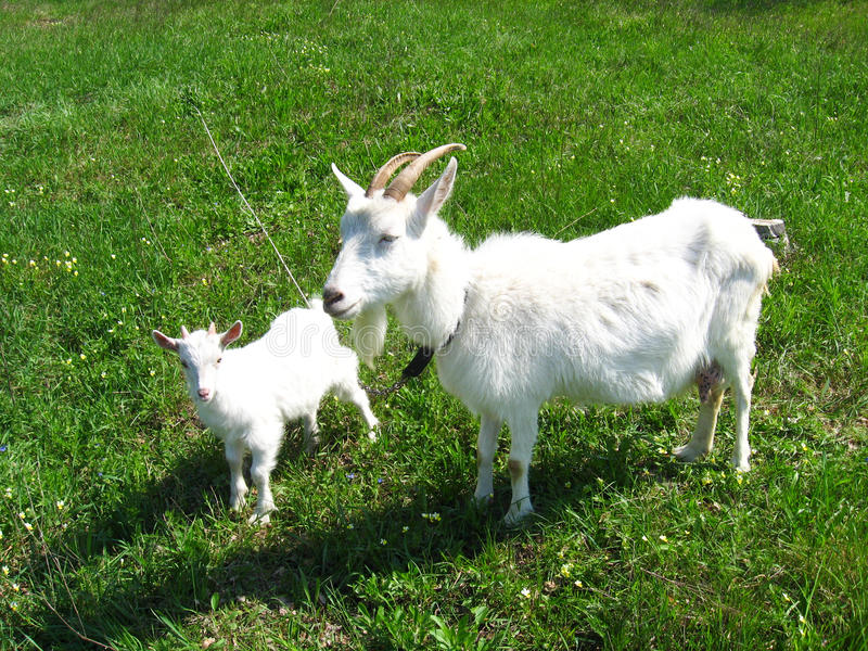 Chèvre et enfant sur un pâturage photographie stock libre de droits