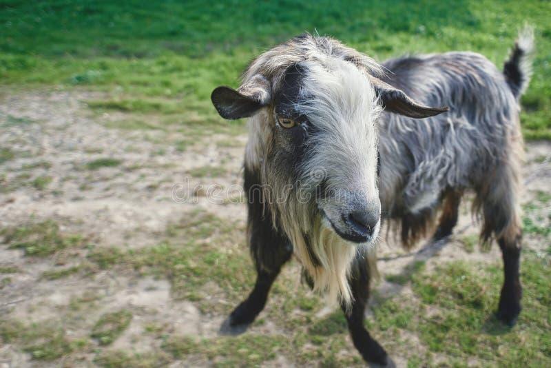 Chèvre grise sur un champ vert photo libre de droits
