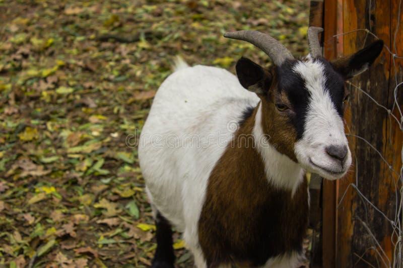 Chèvre heureuse de sourire de plein de corps museau de chèvre photographie stock