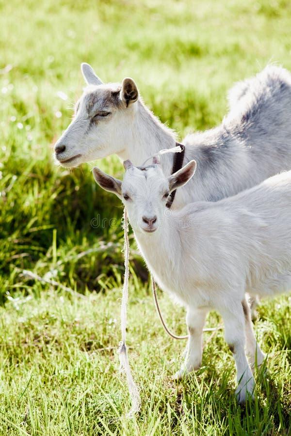 Chèvre heureuse et son enfant sur l'herbe image libre de droits