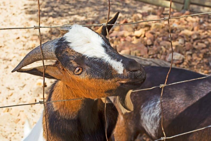 Chèvre masculine curieuse photo libre de droits