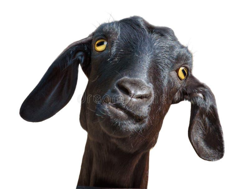 Chèvre noire d'isolement sur le blanc photos stock