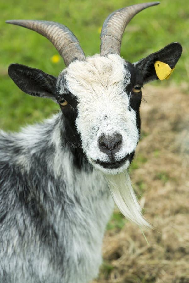 Chèvre noire et blanche photographie stock