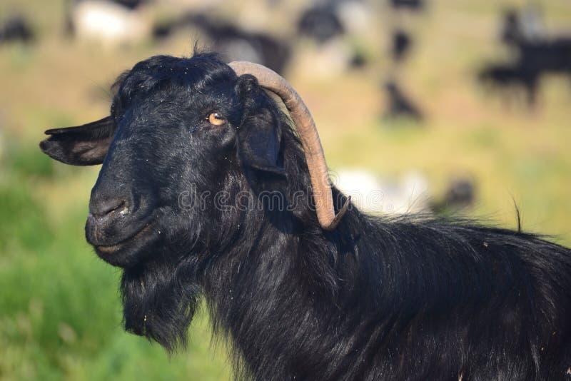 Chèvre noire, montagnes de la Turquie image stock