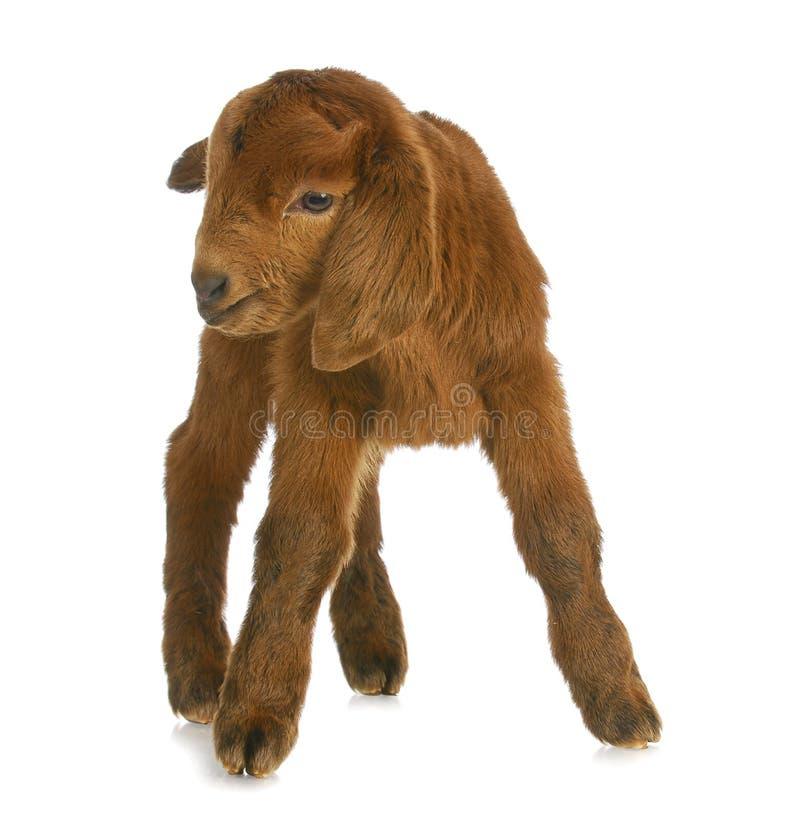 Chèvre ou gosse de chéri images libres de droits