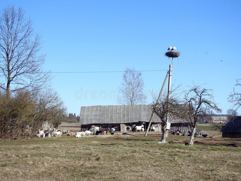Chèvre près des oiseaux de dépendance et de cigogne dans le village, Lithuanie photographie stock libre de droits