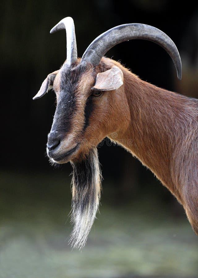 Chèvre pygméenne africaine simple dans le jardin zoologique image stock