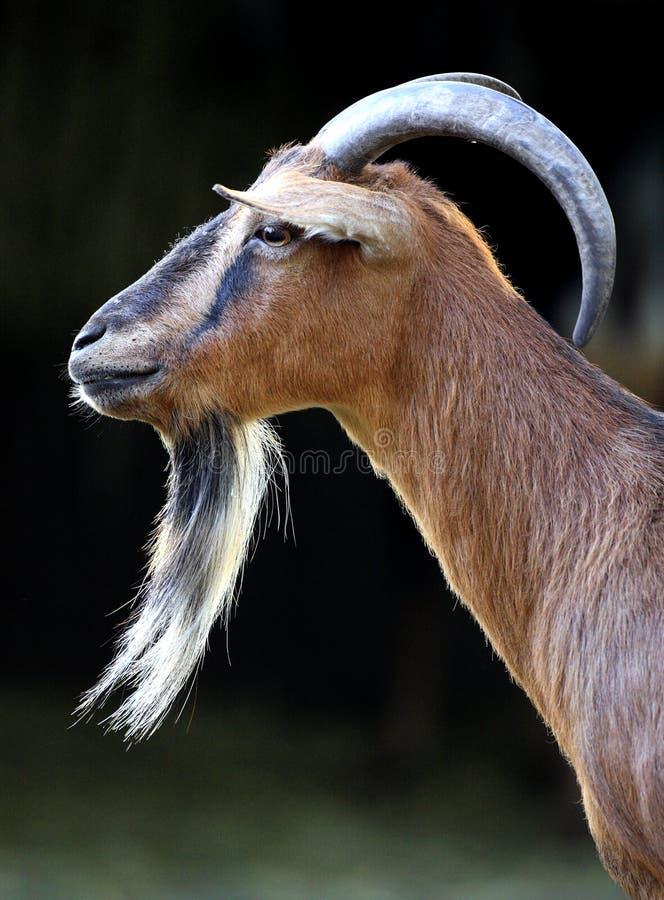 Chèvre pygméenne africaine simple dans le jardin zoologique photo libre de droits