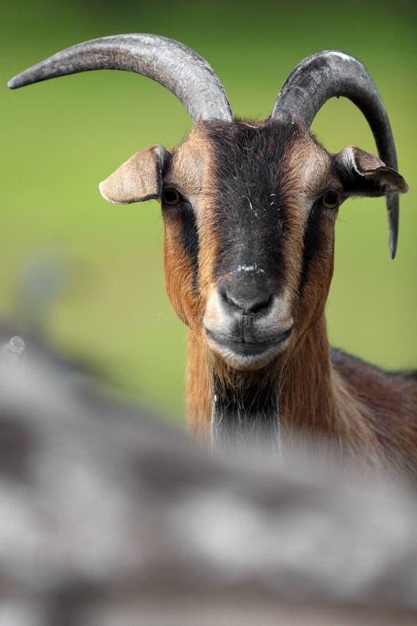 Chèvre pygméenne africaine simple dans le jardin zoologique images libres de droits