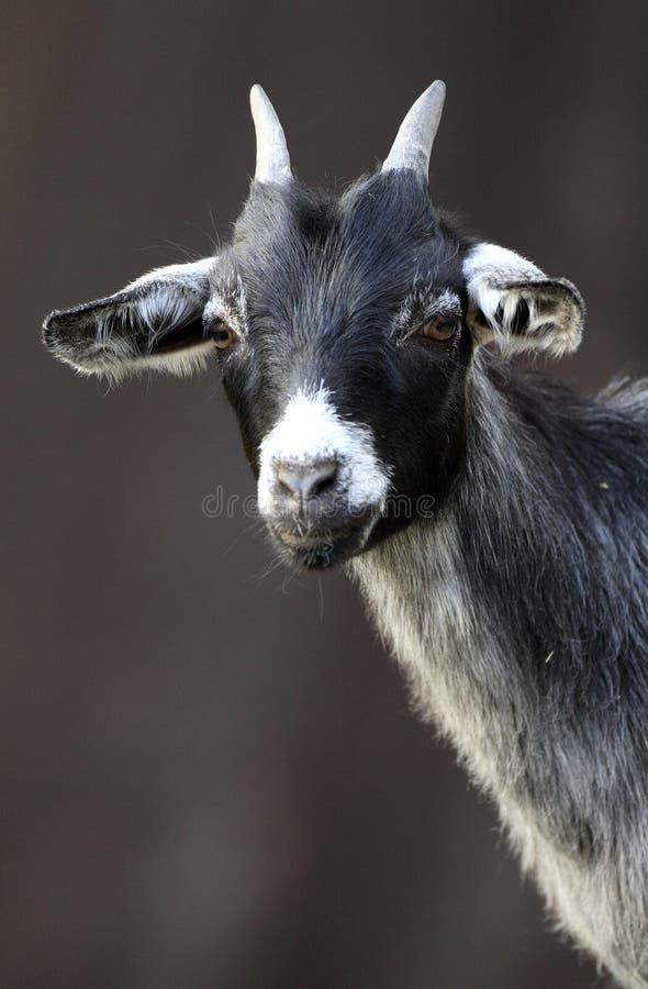 Chèvre pygméenne africaine simple dans le jardin zoologique photos libres de droits
