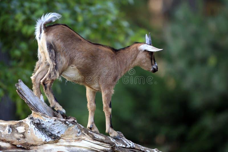 Chèvre pygméenne africaine simple dans le jardin zoologique photographie stock